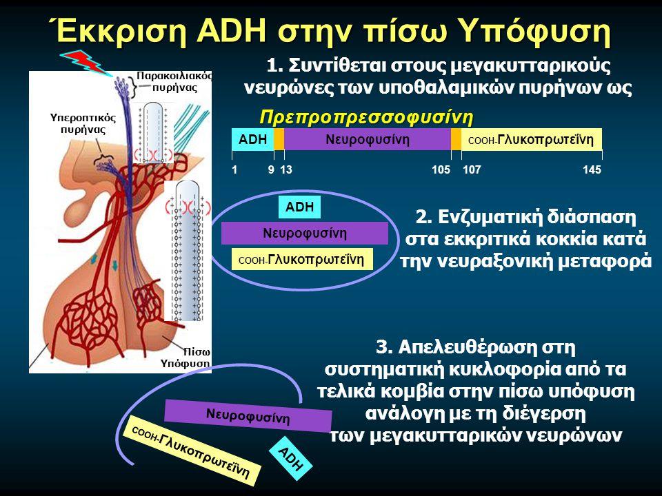 Έκκριση ADH στην πίσω Υπόφυση ADH COOH- ΓλυκοπρωτεΐνηΝευροφυσίνη 1913105107145 Πρεπροπρεσσοφυσίνη Υπεροπτικός πυρήνας Παρακοιλιακός πυρήνας Πίσω Υπόφυση 1.