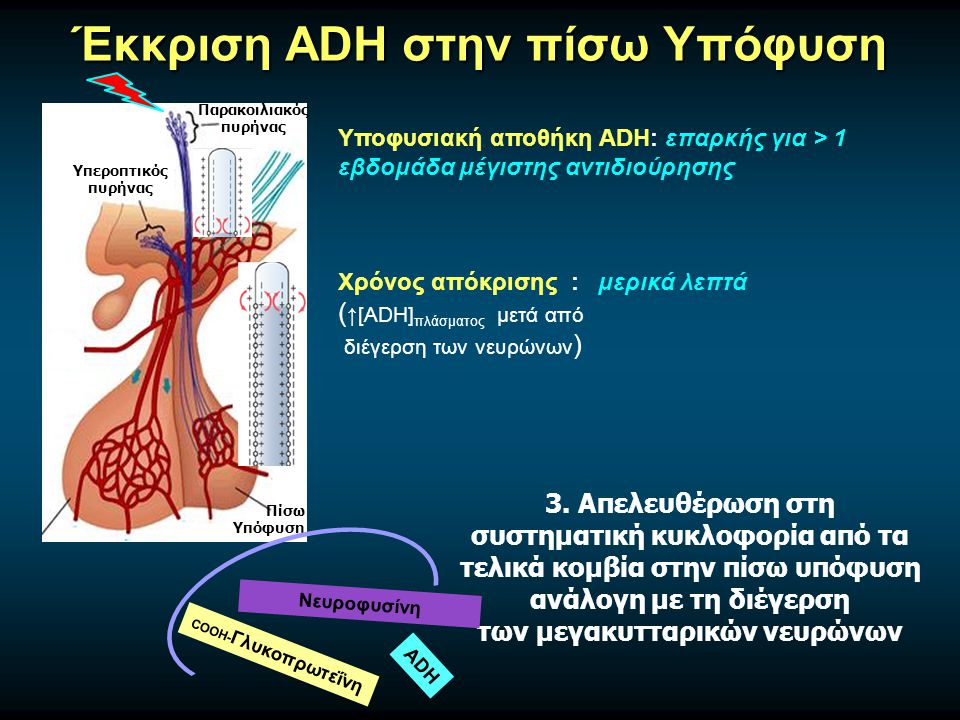 Έκκριση ADH στην πίσω Υπόφυση Υπεροπτικός πυρήνας Παρακοιλιακός πυρήνας Πίσω Υπόφυση 3.