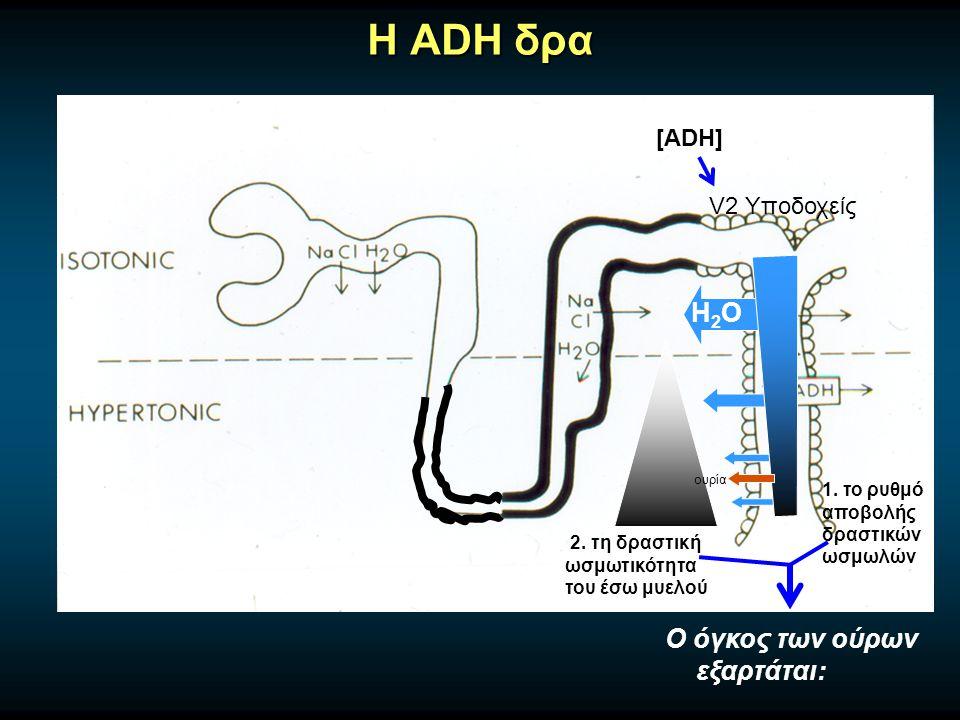 H ADH δρα H2OH2O ουρία [ADH] V2 Υποδοχείς Ο όγκος των ούρων εξαρτάται: 1.