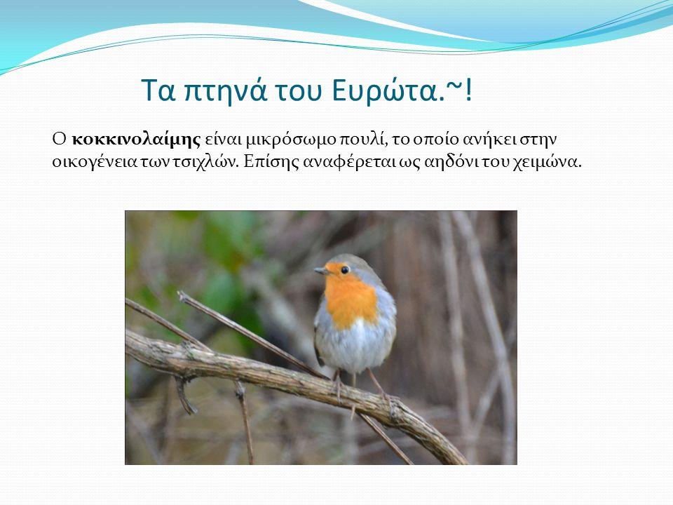 Τα πτηνά του Ευρώτα.~! Ο κοκκινολαίμης είναι μικρόσωμο πουλί, το οποίο ανήκει στην οικογένεια των τσιχλών. Επίσης αναφέρεται ως αηδόνι του χειμώνα.