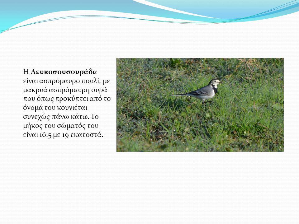 Η Λευκοσουσουράδα είναι ασπρόμαυρο πουλί, με μακρυά ασπρόμαυρη ουρά που όπως προκύπτει από το όνομά του κουνιέται συνεχώς πάνω κάτω. Το μήκος του σώμα