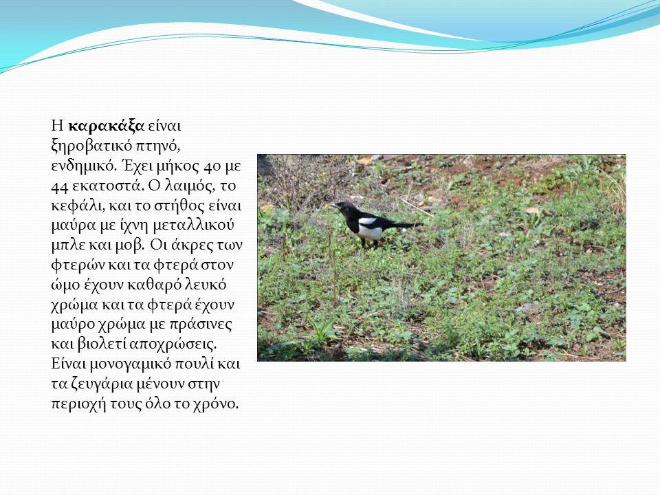 Η καρακάξα είναι ξηροβατικό πτηνό, ενδημικό. Έχει μήκος 40 με 44 εκατοστά. Ο λαιμός, το κεφάλι, και το στήθος είναι μαύρα με ίχνη μεταλλικού μπλε και