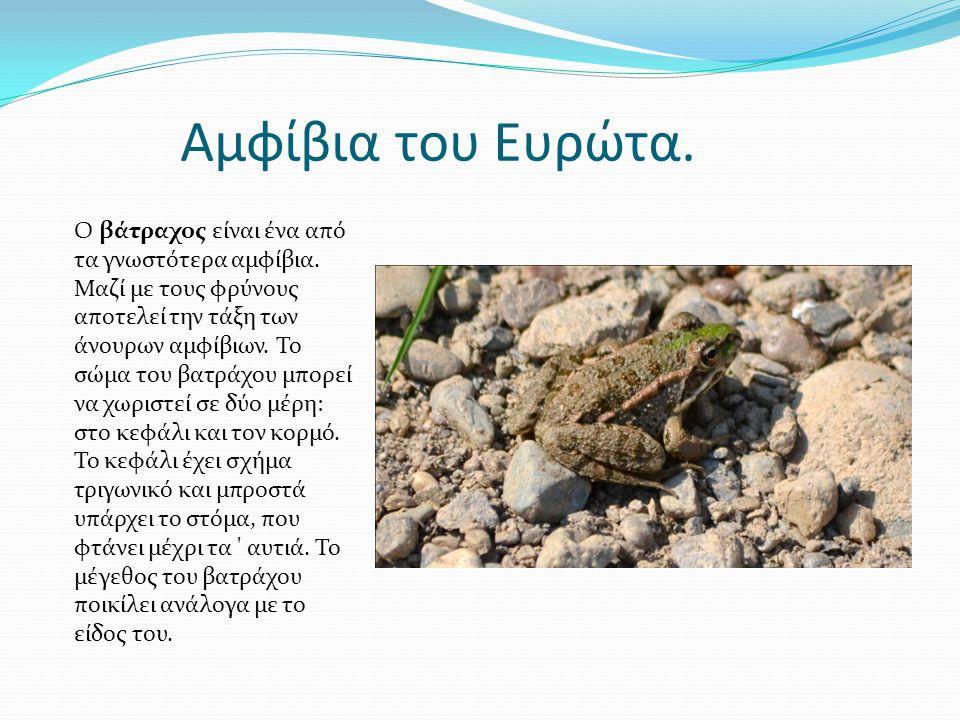 Αμφίβια του Ευρώτα. Ο βάτραχος είναι ένα από τα γνωστότερα αμφίβια. Μαζί με τους φρύνους αποτελεί την τάξη των άνουρων αμφίβιων. Το σώμα του βατράχου