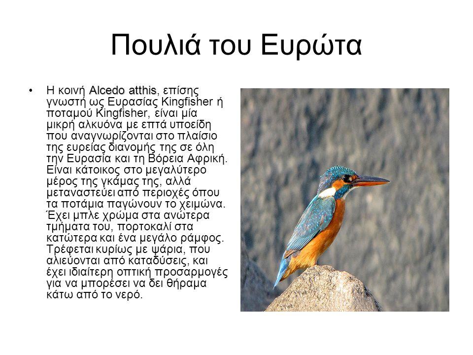 Πουλιά του Ευρώτα Alcedo atthisΗ κοινή Alcedo atthis, επίσης γνωστή ως Ευρασίας Kingfisher ή ποταμού Kingfisher, είναι μία μικρή αλκυόνα με επτά υποεί