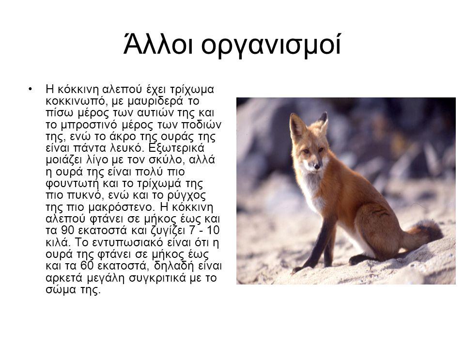 Άλλοι οργανισμοί Η κόκκινη αλεπού έχει τρίχωμα κοκκινωπό, με μαυριδερά το πίσω μέρος των αυτιών της και το μπροστινό μέρος των ποδιών της, ενώ το άκρο