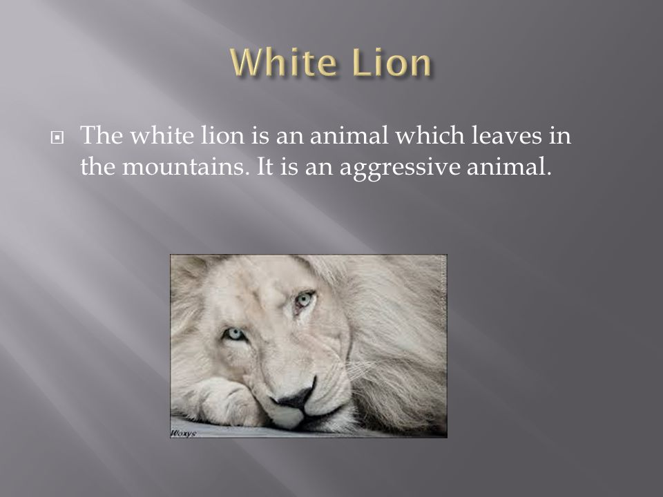 The white lion is an animal which leaves in the mountains. It is an aggressive animal.