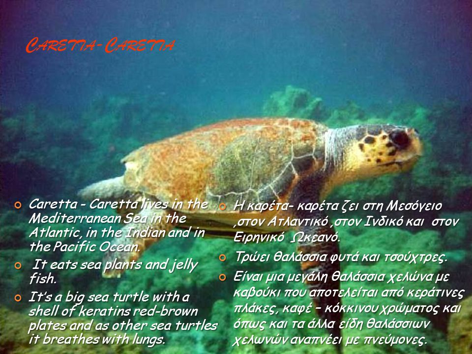 C ARETTA -C ARETTA Caretta - Caretta lives in the Mediterranean Sea in the Atlantic, in the Indian and in the Pacific Ocean.