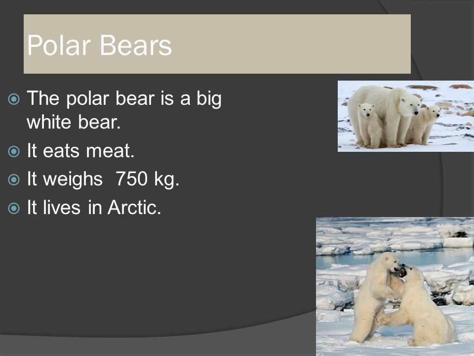 Polar Bears  The polar bear is a big white bear.  It eats meat.