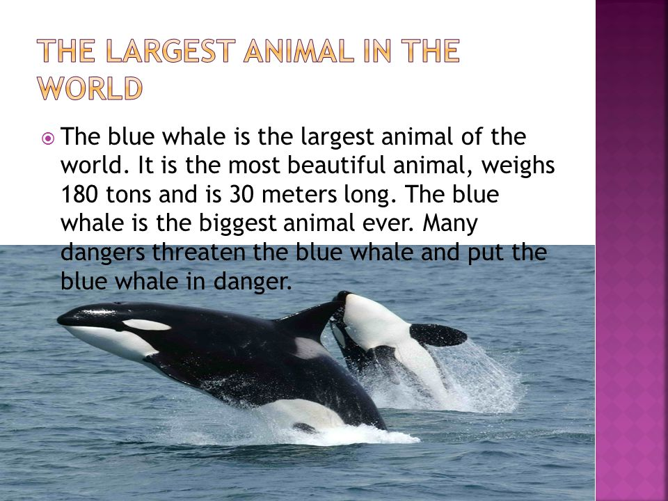  The blue whale is the largest animal of the world.