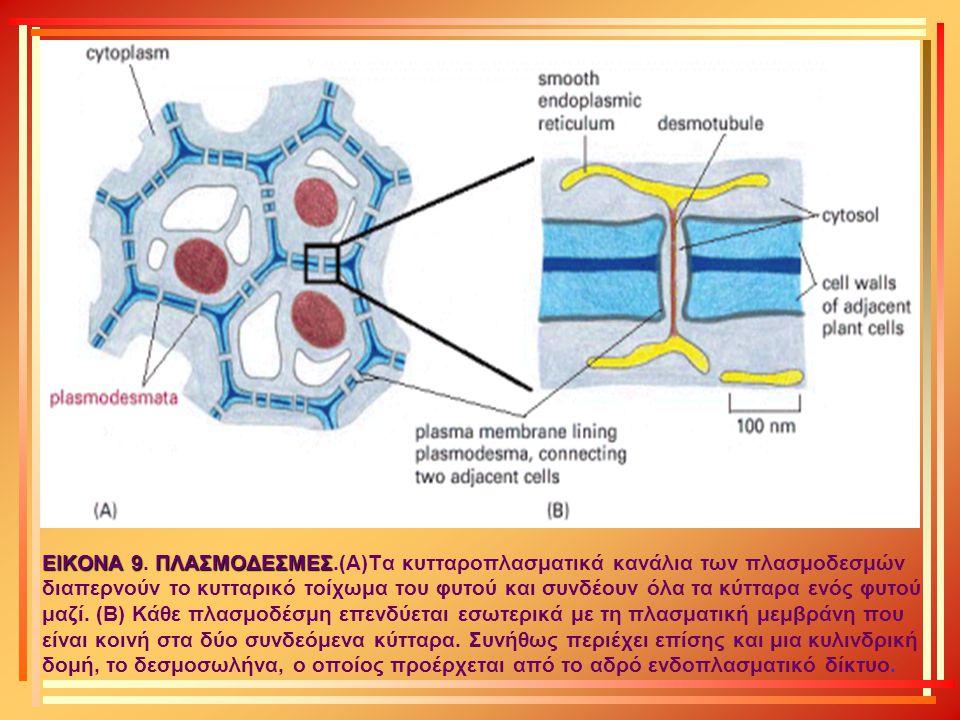 ΕΙΚΟΝΑ 9ΠΛΑΣΜΟΔΕΣΜΕΣ ΕΙΚΟΝΑ 9. ΠΛΑΣΜΟΔΕΣΜΕΣ.(Α)Τα κυτταροπλασματικά κανάλια των πλασμοδεσμών διαπερνούν το κυτταρικό τοίχωμα του φυτού και συνδέουν όλ