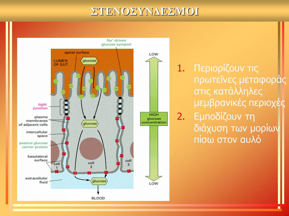 ΣΤΕΝΟΣΥΝΔΕΣΜΟΙ 1.Περιορίζουν τις πρωτεΐνες μεταφοράς στις κατάλληλες μεμβρανικές περιοχές 2.Εμποδίζουν τη διάχυση των μορίων πίσω στον αυλό