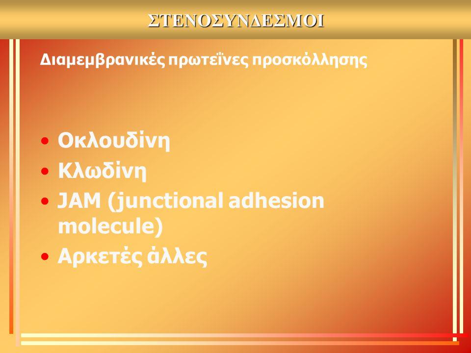 ΣΤΕΝΟΣΥΝΔΕΣΜΟΙ Διαμεμβρανικές πρωτεΐνες προσκόλλησης Οκλουδίνη Κλωδίνη JAM (junctional adhesion molecule) Αρκετές άλλες