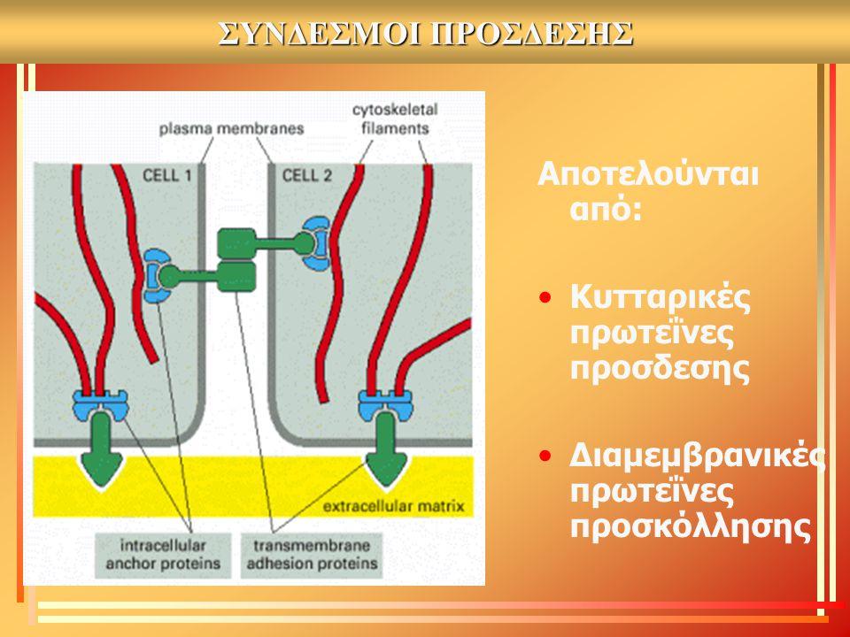 ΣΥΝΔΕΣΜΟΙ ΠΡΟΣΔΕΣΗΣ Αποτελούνται από: Κυτταρικές πρωτεΐνες προσδεσης Διαμεμβρανικές πρωτεΐνες προσκόλλησης