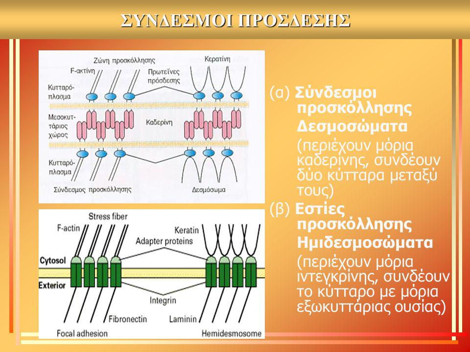 ΣΥΝΔΕΣΜΟΙ ΠΡΟΣΔΕΣΗΣ (α) Σύνδεσμοι προσκόλλησης Δεσμοσώματα (περιέχουν μόρια καδερίνης, συνδέουν δύο κύτταρα μεταξύ τους) (β) Εστίες προσκόλλησης Ημιδε