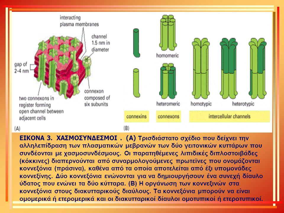 ΕΙΚΟΝΑ 3. ΧΑΣΜΟΣΥΝΔΕΣΜΟΙ. (Α) Τρισδιάστατο σχέδιο που δείχνει την αλληλεπίδραση των πλασματικών μεβρανών των δύο γειτονικών κυττάρων που συνδέονται με