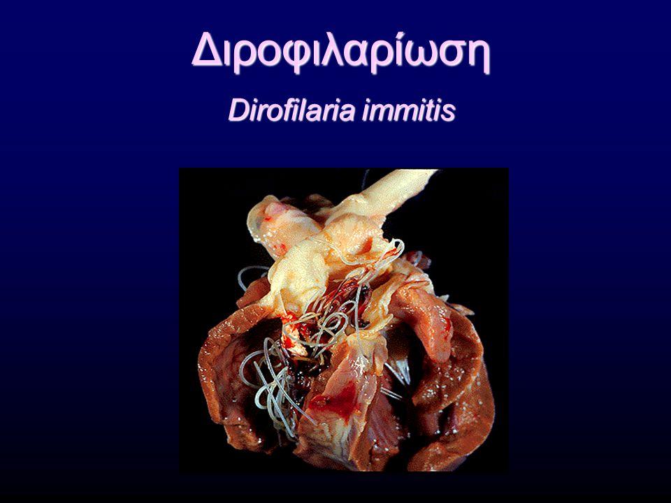 Θεραπεία Θειακεταρσαμίδη (Caparsolate ® ) 2,2 mg/kg Σ.Β./12ωρο, IV (!) για 2 ημέρες Μελαρσομίνη (Immiticide ® ) 2,5 mg/kg Σ.Β./24ωρο IM, για 2 ημέρες ΚΙΝΔΥΝΟΙ  ΠΕΡΙΟΡΙΣΜΟΣ ΤΗΣ ΚΙΝΗΤΙΚΗΣ ΔΡΑΣΤΗΡΙΟΤΗΤΑΣ  ΑΝΤΙΜΕΤΩΠΙΣΗ ΕΠΙΠΛΟΚΩΝ Ιβερμεκτίνη 50 μg/kgΣ.Β.