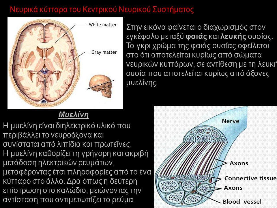 Νευρικά κύτταρα του Κεντρικού Νευρικού Συστήματος Στην εικόνα φαίνεται ο διαχωρισμός στον εγκέφαλο μεταξύ φαιάς και λευκής ουσίας. Το γκρι χρώμα της φ
