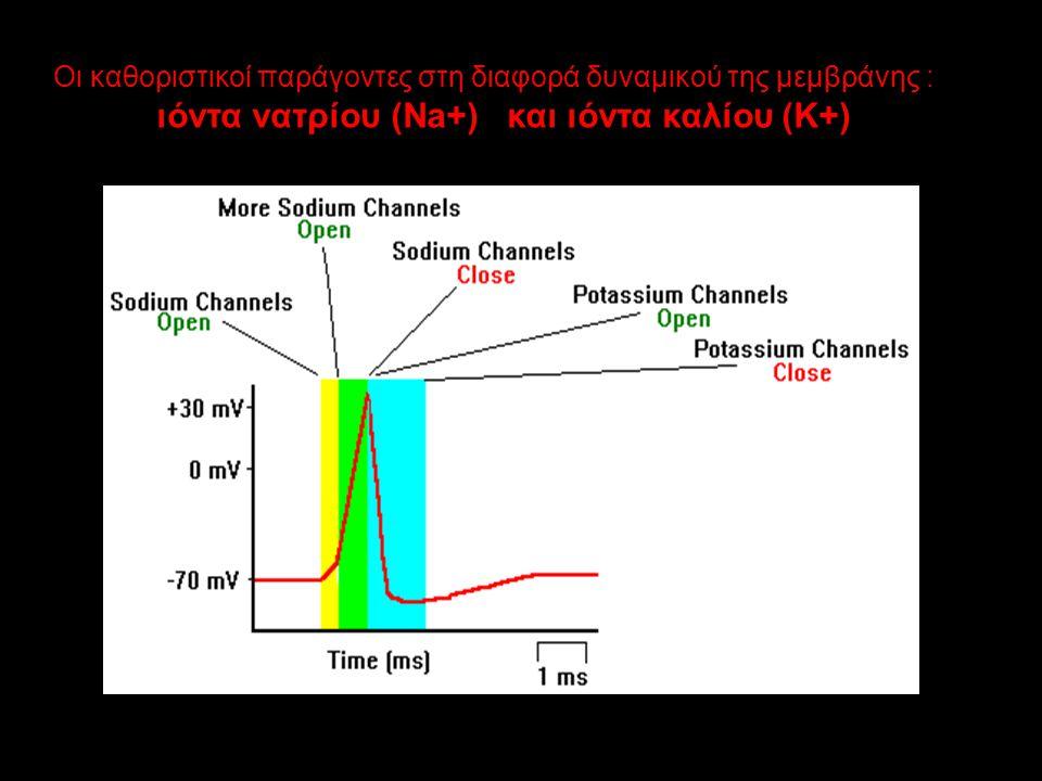 Οι καθοριστικοί παράγοντες στη διαφορά δυναμικού της μεμβράνης : ιόντα νατρίου (Na+) και ιόντα καλίου (K+)