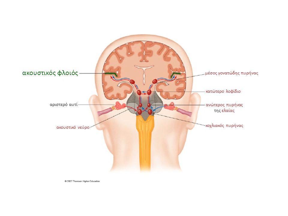 ακουστικός φλοιός αριστερό αυτί ακουστικό νεύρο κοχλιακός πυρήνας ανώτερος πυρήνας της ελαίας κατώτερο λοφίδιο μέσος γονατώδης πυρήνας