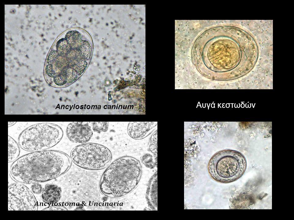Ancylostoma & Uncinaria Ancylostoma caninum Αυγά κεστωδών