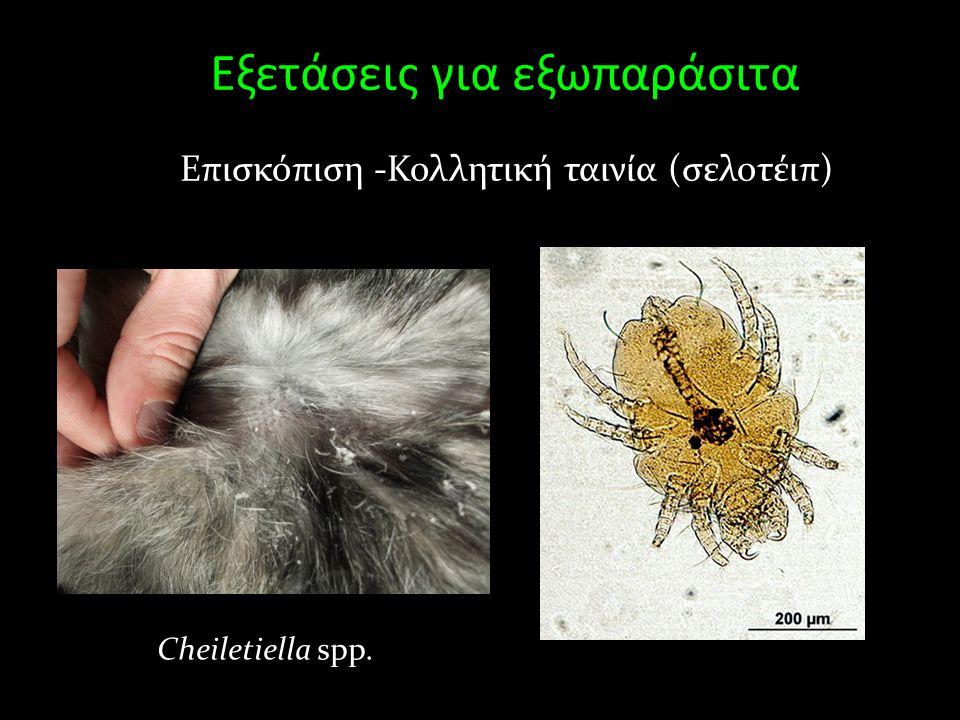 Εξετάσεις για εξωπαράσιτα Επισκόπιση -Κολλητική ταινία (σελοτέιπ) Cheiletiella spp.