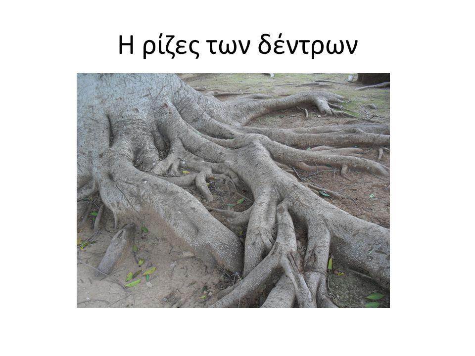 Η ρίζες των δέντρων