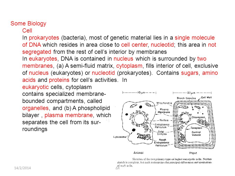 14/2/2014 Some Biology Cell In prokaryotes (bacteria), most of genetic material lies in a single molecule of DNA which resides in area close to cell center, nucleotid; this area in not segregated from the rest of cell's interior by membranes In eukaryotes, DNA is contained in nucleus which is surrounded by two membranes, (a) A semi-fluid matrix, cytoplasm, fills interior of cell, exclusive of nucleus (eukaryotes) or nucleotid (prokaryotes).