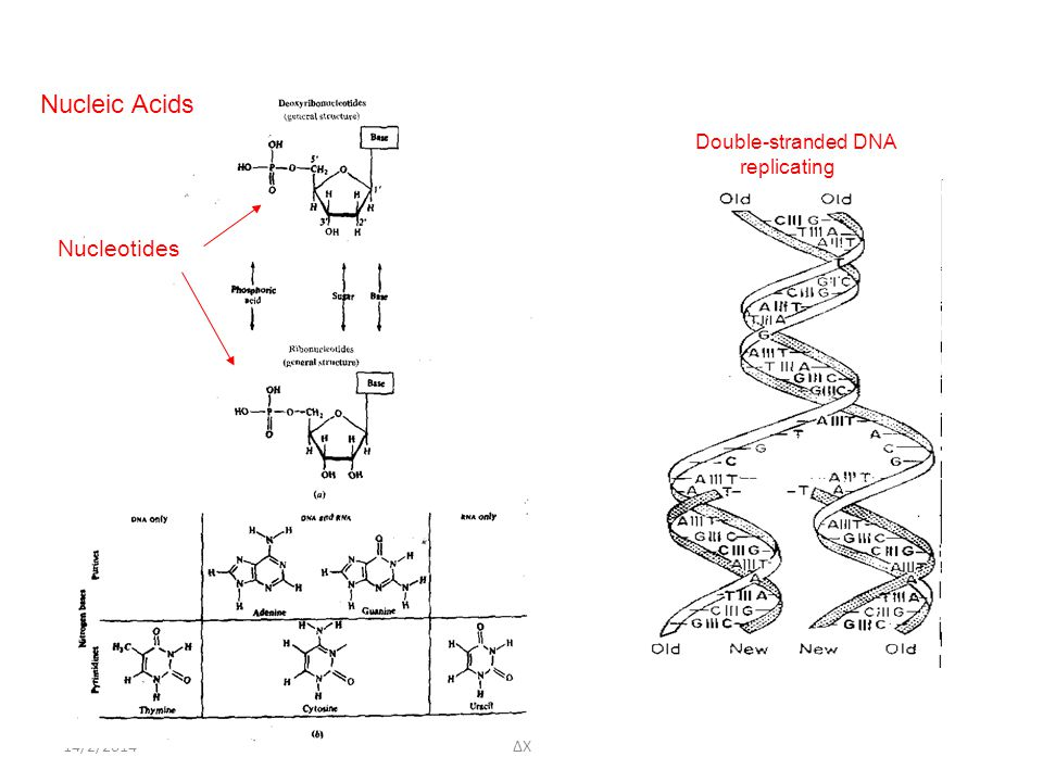 14/2/2014 Nucleic Acids Nucleotides Double-stranded DNA replicating ΔΧ