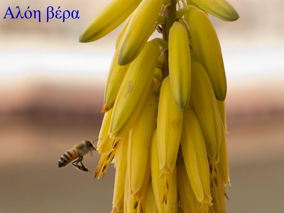 Το μυστικό της υγείας και της ομορφιάς βρίσκεται καλά κρυμμένο στα βότανα, τα αυτοφυή δηλαδή φυτά και ιδίως αυτά που φυτρώνουν στους καλλιεργημένους αγρούς και χρησιμοποιούνται σαν φάρμακα για τις διάφορες παθήσεις.
