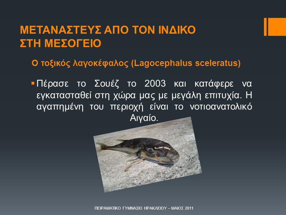 Ο τοξικός λαγοκέφαλος (Lagocephalus sceleratus)  Πέρασε το Σουέζ το 2003 και κατάφερε να εγκατασταθεί στη χώρα μας με μεγάλη επιτυχία. Η αγαπημένη το