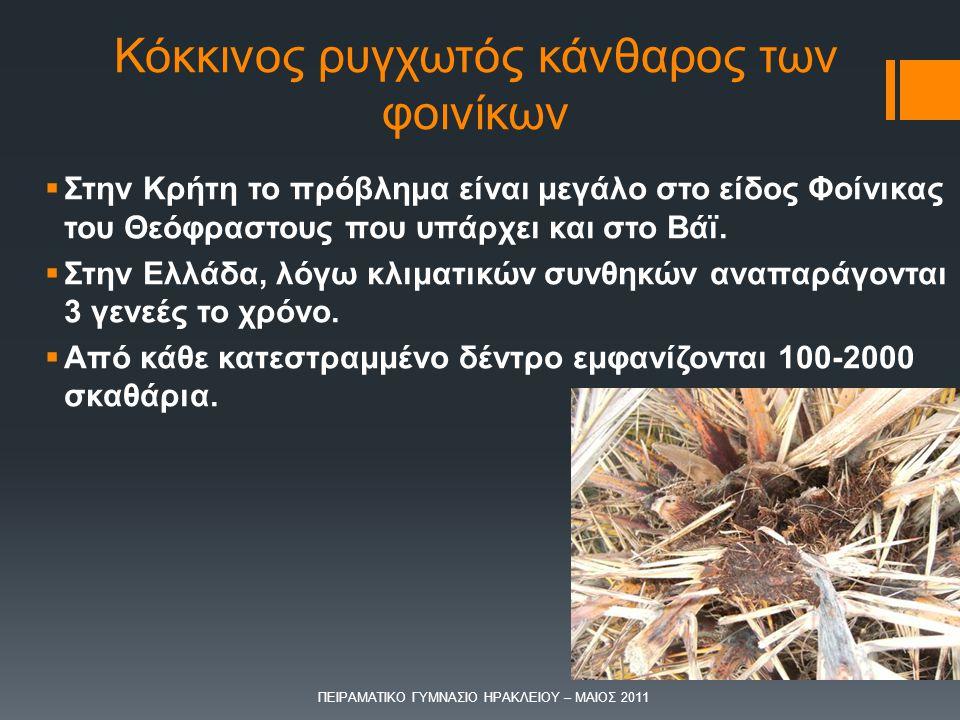  Στην Κρήτη το πρόβλημα είναι μεγάλο στο είδος Φοίνικας του Θεόφραστους που υπάρχει και στο Βάϊ.  Στην Ελλάδα, λόγω κλιματικών συνθηκών αναπαράγοντα