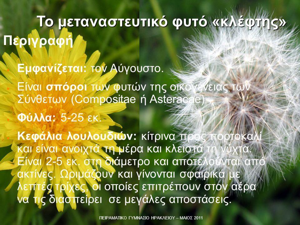 Περιγραφή ● Εμφανίζεται: τον Αύγουστο. ● Είναι σπόροι των φυτών της οικογένειας των Σύνθετων (Compositae ή Asteracae) ● Φύλλα: 5-25 εκ. ● Κεφάλια λουλ
