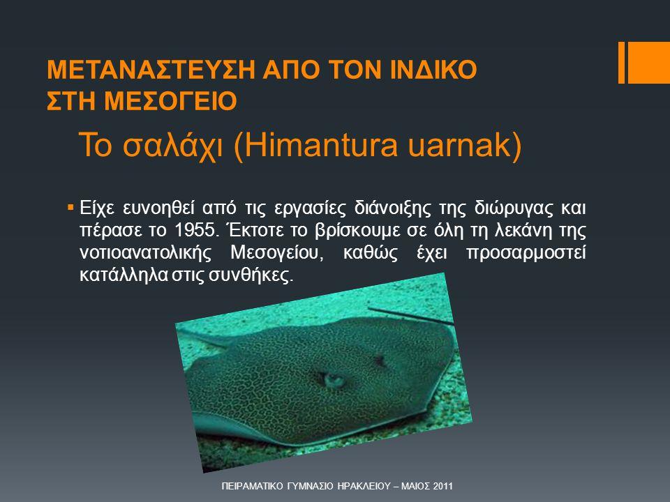 Το σαλάχι (Himantura uarnak)  Είχε ευνοηθεί από τις εργασίες διάνοιξης της διώρυγας και πέρασε το 1955. Έκτοτε το βρίσκουμε σε όλη τη λεκάνη της νοτι