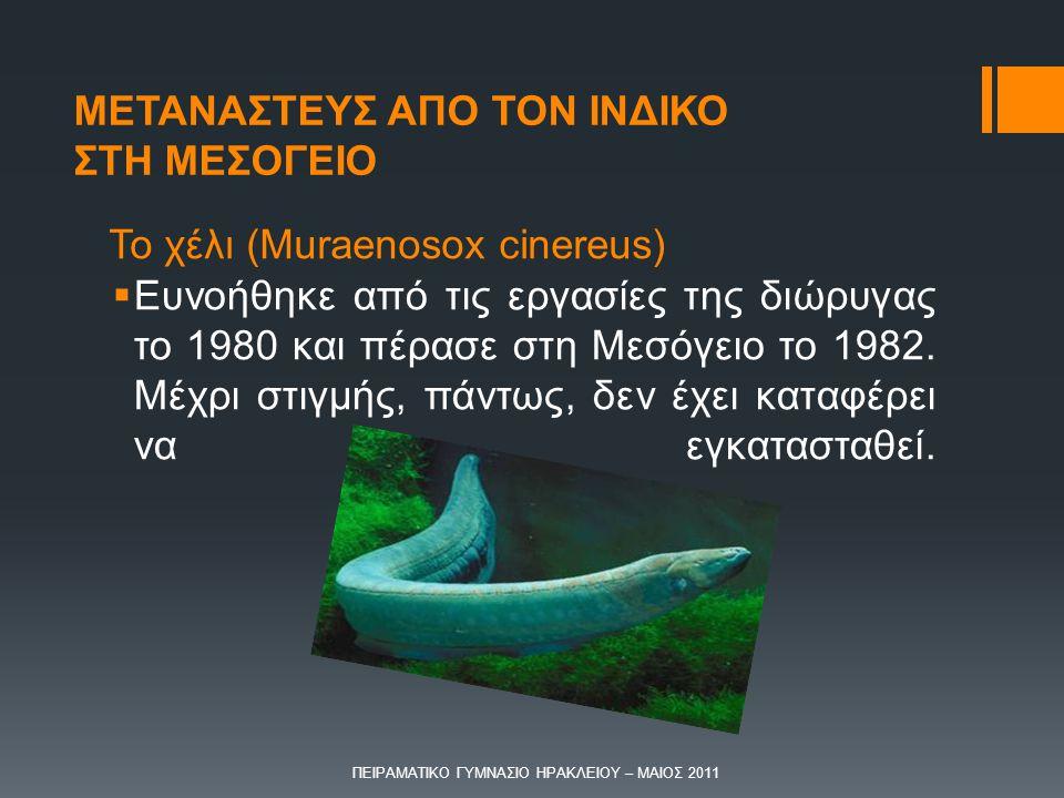 Το χέλι (Muraenosox cinereus)  Ευνοήθηκε από τις εργασίες της διώρυγας το 1980 και πέρασε στη Μεσόγειο το 1982. Μέχρι στιγμής, πάντως, δεν έχει καταφ