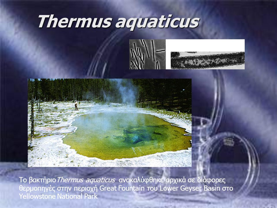 Thermus aquaticus Tο βακτήριοThermus aquaticus ανακαλύφθηκε αρχικά σε διάφορες θερμοπηγές στην περιοχή Great Fountain του Lower Geyser Basin στο Yello