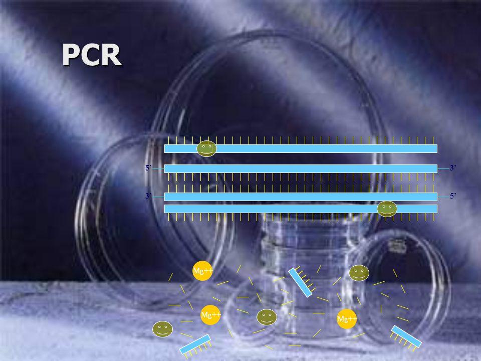 PCR 5'3' 5'3' Mg++