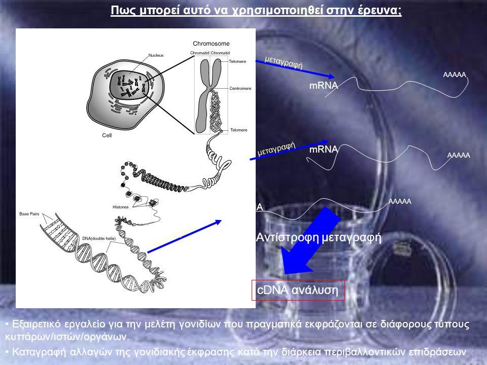 Πως μπορεί αυτό να χρησιμοποιηθεί στην έρευνα; μεταγραφή transcription AAAAA mRNA Εξαιρετικό εργαλείο για την μελέτη γονιδίων που πραγματικά εκφράζοντ