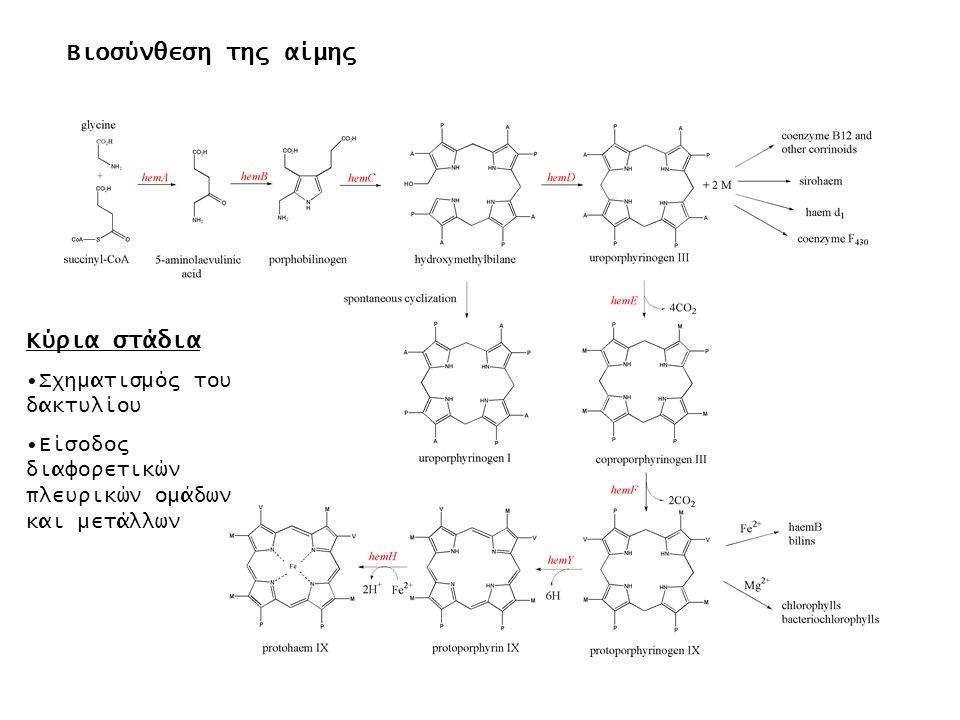 Βιοσύνθεση της αίμης Κύρια στάδια Σχηματισμός του δακτυλίου Είσοδος διαφορετικών πλευρικών ομάδων και μετάλλων