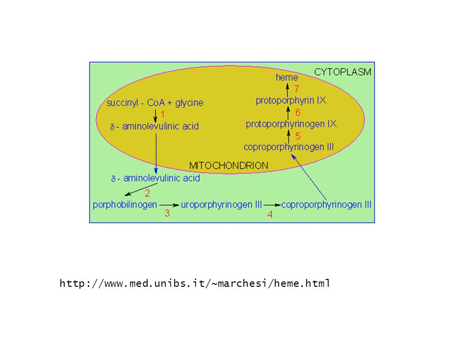 1.Protoporphyrin IX 3.Περιέχεται στη αιμογλοβίνη και μυογλοβίνη (μεταφέρει Ο 2 και CO 2.