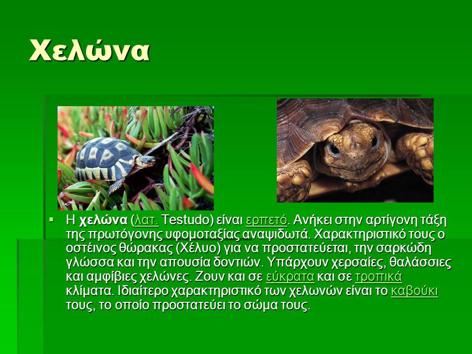 Χελώνα  Η χελώνα (λατ. Testudo) είναι ερπετό. Ανήκει στην αρτίγονη τάξη της πρωτόγονης υφομοταξίας αναψιδωτά. Χαρακτηριστικό τους ο οστέινος θώρακας