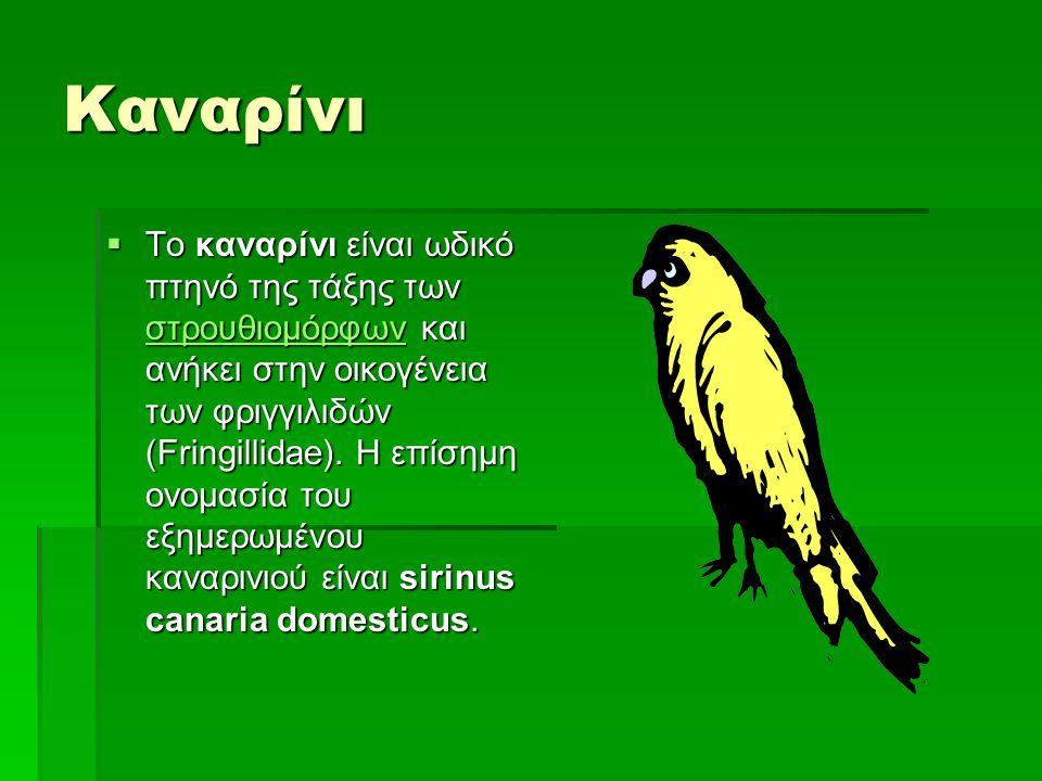 Καναρίνι  Το καναρίνι είναι ωδικό πτηνό της τάξης των στρουθιομόρφων και ανήκει στην οικογένεια των φριγγιλιδών (Fringillidae). Η επίσημη ονομασία το
