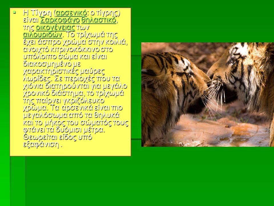 Τίγρης  Η Τίγρη (αρσενικό: ο τίγρης) είναι Σαρκοφάγο θηλαστικό, της οικογένειας των αιλουριδών. Το τρίχωμά της έχει άσπρο χρώμα στην κοιλιά, ανοιχτό