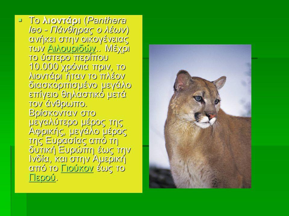 Λιοντάρι  Το λιοντάρι (Panthera leo - Πάνθηρας ο λέων) ανήκει στην οικογένειας των Αιλουριδών.. Μέχρι το ύστερο περίπου 10.000 χρόνια πριν, το λιοντά
