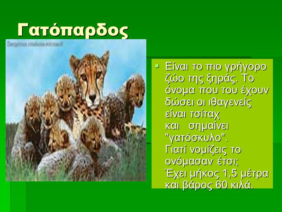 Γατόπαρδος  Είναι το πιο γρήγορο ζώο της ξηράς. Το όνομα που του έχουν δώσει οι ιθαγενείς είναι τσίταχ και σημαίνει