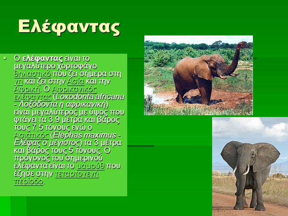 Ελέφαντας  Ο ελέφαντας είναι το μεγαλύτερο χορτοφάγο θηλαστικό που ζει σήμερα στη γη και ζει στην Ασία και την Αφρική. Ο Αφρικανικός ελέφαντας (Loxod