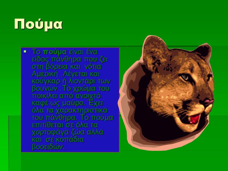 Πούμα  Το πούμα είναι ένα είδος πάνθηρα που ζει στη βόρεια και νότια Αμερική.Λέγεται και κούγκαρ ή λιοντάρι των βουνών.Το χρώμα του ποικίλει από ανοι