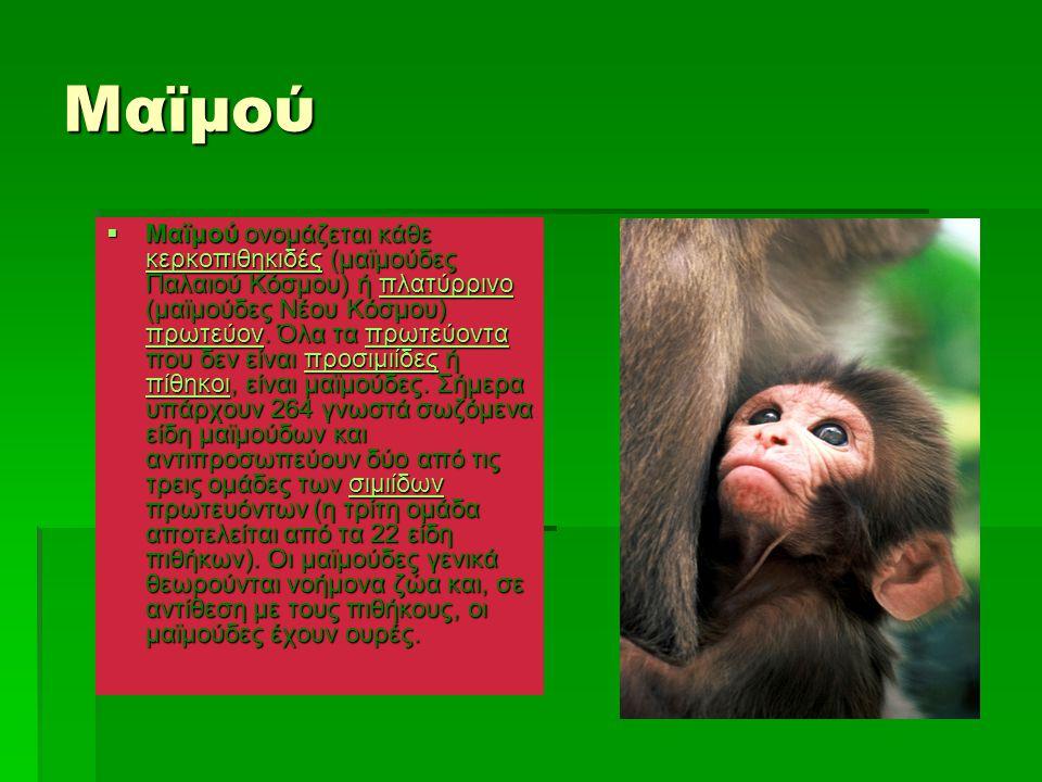 Μαϊμού  Μαϊμού ονομάζεται κάθε κερκοπιθηκιδές (μαϊμούδες Παλαιού Κόσμου) ή πλατύρρινο (μαϊμούδες Νέου Κόσμου) πρωτεύον. Όλα τα πρωτεύοντα που δεν είν