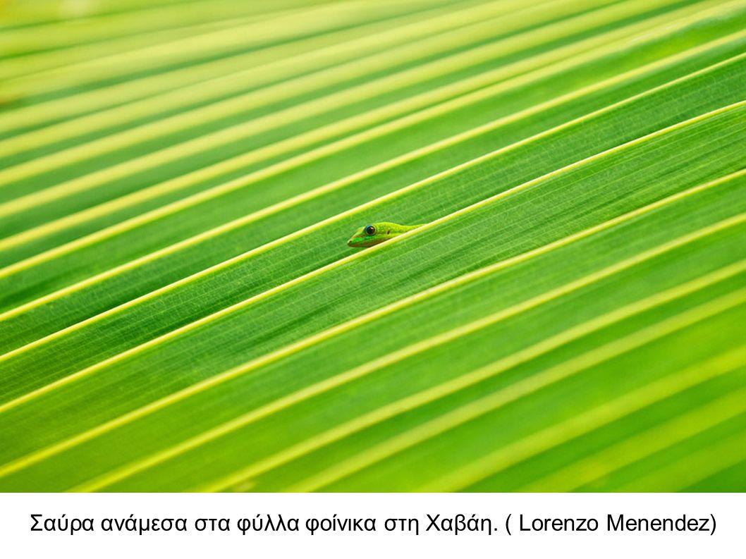 Σαύρα ανάμεσα στα φύλλα φοίνικα στη Χαβάη. ( Lorenzo Menendez)