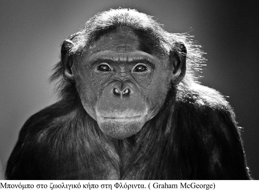 Μπονόμπο στο ζωολιγικό κήπο στη Φλόριντα. ( Graham McGeorge)