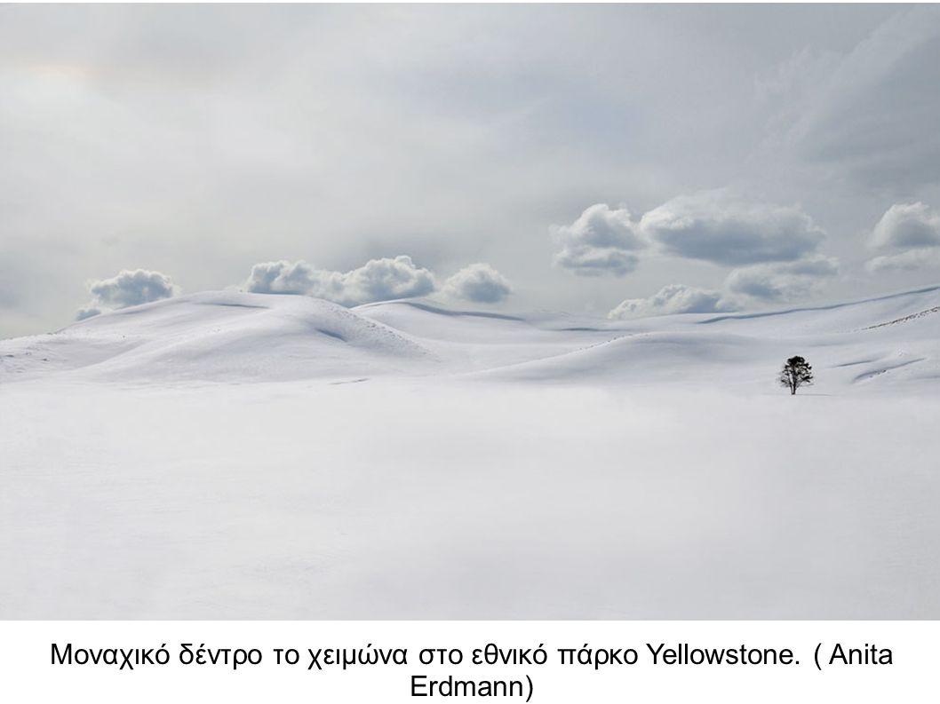 Μοναχικό δέντρο το χειμώνα στο εθνικό πάρκο Yellowstone. ( Anita Erdmann)